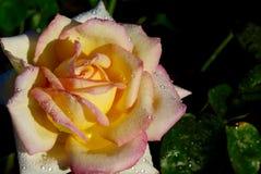 黄色与桃红色外缘脚蹬的玫瑰花 图库摄影