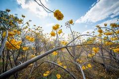 黄色丝光木棉树、黄色花或者Torchwood在泰国 免版税库存图片