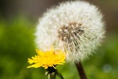 黄色两朵的花和白色蒲公英 库存照片