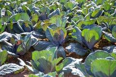 绿色中国无头甘蓝在菜园里 免版税库存图片