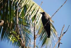 黑色乌鸦 免版税图库摄影