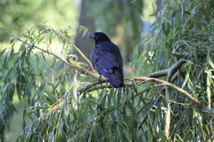 黑色乌鸦 库存照片