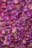 紫色九重葛接近的顶视图在黑色留下背景,桃红色,上升了,米黄颜色 库存照片