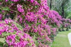 紫色九重葛花盆景  库存照片