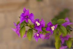 紫色九重葛花 库存图片
