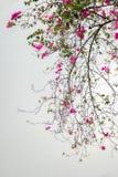 紫色九重葛退色在春天的束 免版税图库摄影