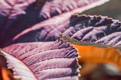 紫色事假纹理 紫色叶子在庭院里 库存图片