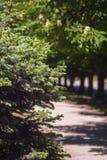 绿色云杉在城市公园 免版税库存照片