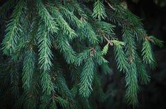 绿色云杉的分行 图库摄影