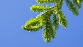 绿色云杉的分行 免版税库存照片