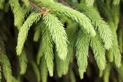 绿色云杉的分行 库存图片