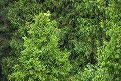 绿色云杉的森林 免版税库存图片