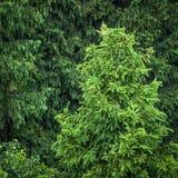 绿色云杉的森林 库存图片