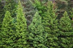 绿色云杉的森林 免版税库存照片