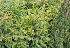 绿色云杉的特写镜头 免版税库存照片