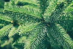 绿色云杉的背景 图库摄影