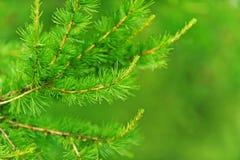 绿色云杉的结构树 免版税图库摄影