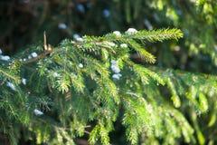 绿色云杉的结构树 免版税库存图片