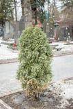 绿色云杉的结构树 库存照片