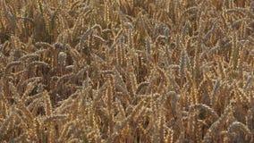 黄色五谷准备好生长在农田的收获 股票录像