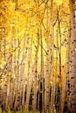 黄色亚斯本树森林 库存图片