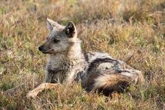 黑色休息在草的支持的狐狼 库存图片