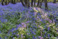 紫色会开蓝色钟形花的草 免版税库存照片