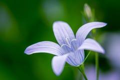 紫色传播的风铃草 图库摄影