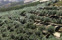 绿色倾斜的橄榄树种植园 图库摄影