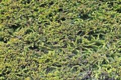 绿色充分的框架云杉背景 图库摄影