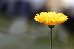 黄色光芒四射的花 免版税库存照片