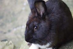 黑色兔子 库存图片