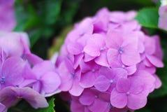 紫色八仙花属关闭 免版税图库摄影