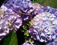 紫色八仙花属和蜗牛 库存图片