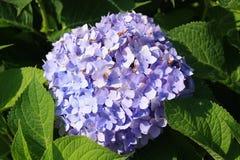 紫色八仙花属雪球绽放 免版税库存图片