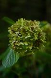 绿色八仙花属 免版税库存照片