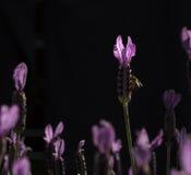 紫色公主淡紫色 免版税库存照片