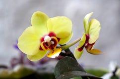 黄色兰科兰花植物在庭院里 库存照片
