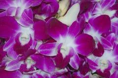紫色兰科 免版税库存照片
