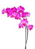 紫色兰花分支 免版税图库摄影