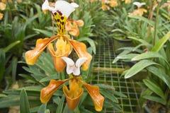 黄色兰花在庭院里 免版税库存照片