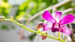 紫色兰花在庭院里 图库摄影