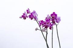 紫色兰花在庭院里 免版税图库摄影