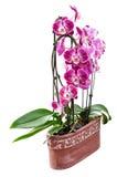 紫色兰花在白色隔绝的陶瓷罐开花 免版税库存图片