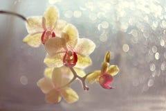 黄色兰花在阳光下 图库摄影