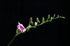 紫色兰花孤立 免版税库存照片