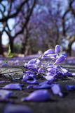 紫色兰花楹属植物花关闭  库存照片