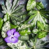 紫色兰花花和各种各样的湿热带叶子,自然背景 免版税库存图片