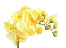 黄色兰花花  库存照片