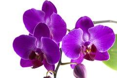 紫色兰花花 图库摄影